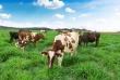 Vinamilk sắp khánh thành Trang trại bò sữa Organic theo tiêu chuẩn Châu Âu đầu tiên tại Việt Nam