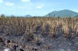 """Phú Yên  Hàng trăm hecta mía chìm trong """"biển lửa"""", nông dân mất trắng hàng tỷ đồng"""
