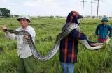 Thanh Hóa:  Tá hỏa phát hiện trăn 'khủng' khi đang gặt lúa
