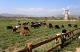 Hệ thống trang trại bò sữa Vinamilk đạt mức tăng trưởng ấn tượng