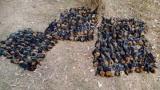 Hàng nghìn con dơi bị chết khô trong đợt nóng kinh hoàng ở Australia