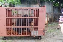 Ngày Gấu Việt Nam: Kêu gọi cộng đồng chung tay chấm dứt nạn nuôi nhốt gấu