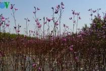 Du khách đắm mình ngắm hoa nhĩ cán tím tại Vườn Quốc gia Tràm Chim