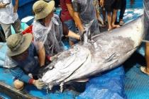 """Bình Định:  5 ngư dân vật lộn bắt cá ngừ đại dương """"khủng"""" nặng 280 kg"""