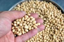 Công dụng của hạt đậu tương và đậu nành