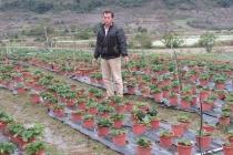 Trồng dâu tây bán Tết, đút túi hàng trăm triệu đồng