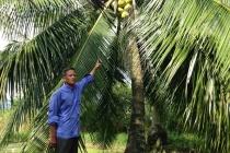 Làm giàu ở nông thôn: Đút túi 800 nghìn/ngày từ 300 cây dừa