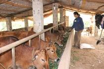 Nguồn vốn cho vay ưu đãi tiếp sức giúp nông dân Chiềng Pha thoát nghèo