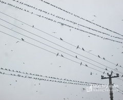 Chim én 'đổ bộ' ở Nghĩa Đàn (Nghệ An), ai bảo vệ chúng?
