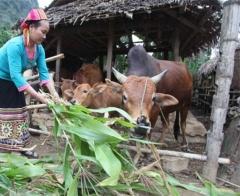 Lai Châu: Tăng cường hiệu quả nguồn vốn chính sách góp phần đảm bảo an sinh xã hội