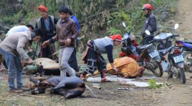 540 trâu bò vùng cao chết rét