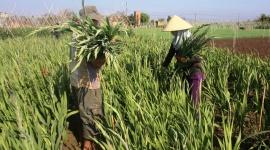 Gia Lai:  Lay ơn nở muộn, mất giá, người trồng lo mất tết