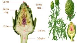 Công dụng của Atisô diệu thảo dược