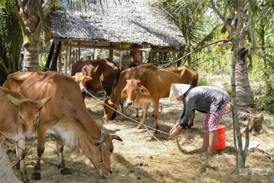 """Xã Hồng Thuận tích cực triển khai mô hình giảm nghèo """"Phát triển chăn nuôi bò"""""""